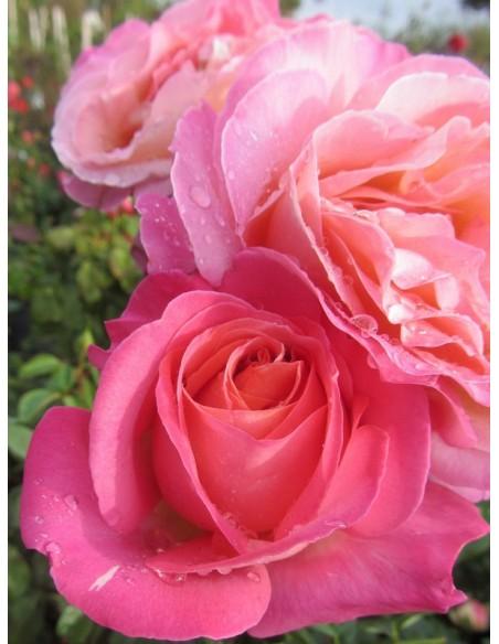 róże wielkokwiatowe Chicago Peace