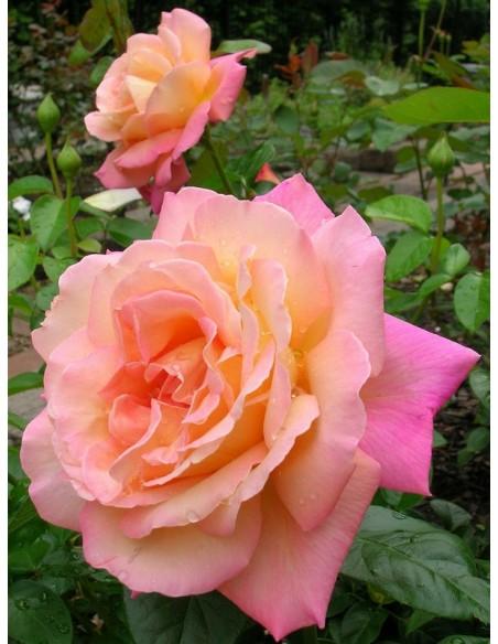 wielkokwiatowe róże Chicago Peace