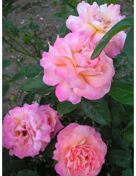 Chicago Peace wielkokwiatowe róże