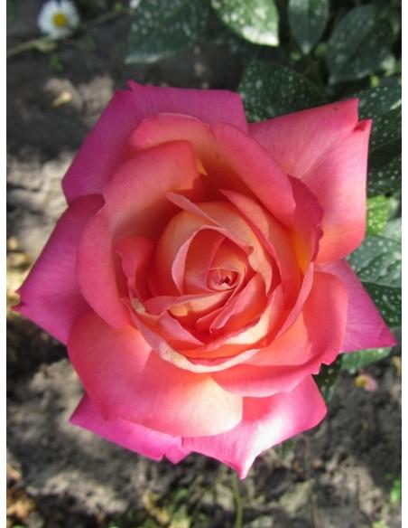 Chicago Peace morelowe róże wielkokwiatowe