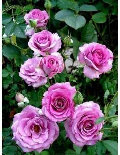 Violette Parfumee gpt pnące róże