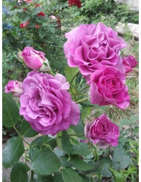 Violette Parfumee gpt róże pnące