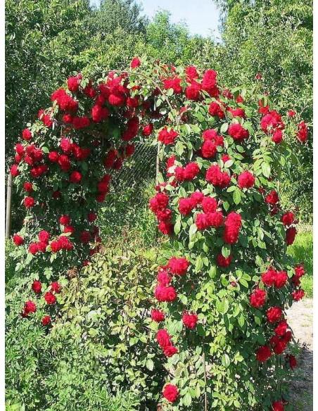 czerwone róże pnące sympatia
