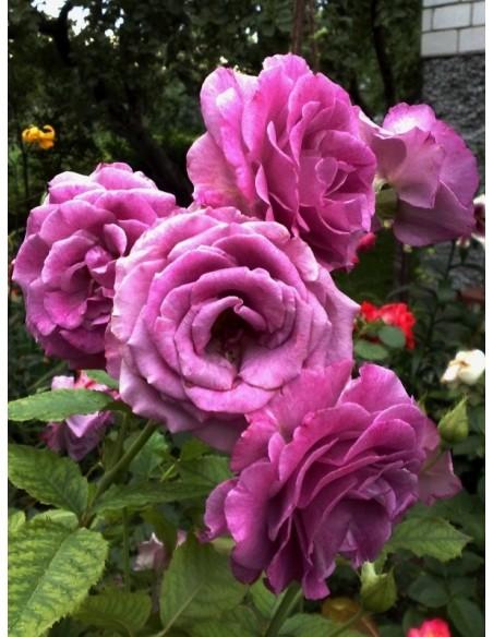 pnące róże Violette Parfumee gpt