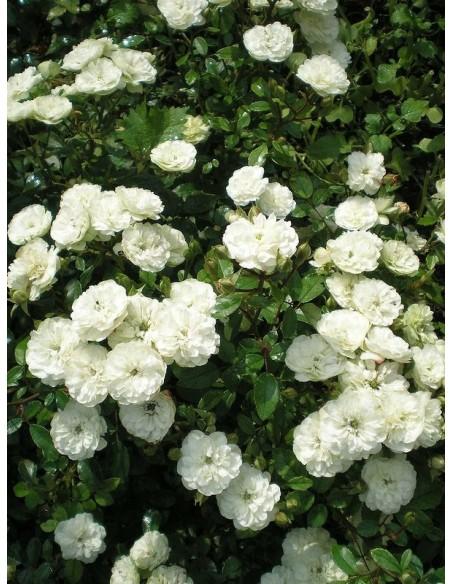 Alba Meidiliand róże okrywowe Gl 1.jpg