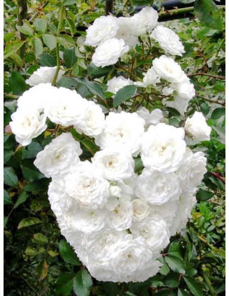 Alba Meidiliand róże okrywowe Gl 2.jpg