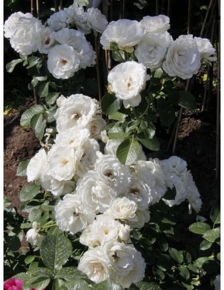Alba Meidiliand róże okrywowe Gl 3.jpg