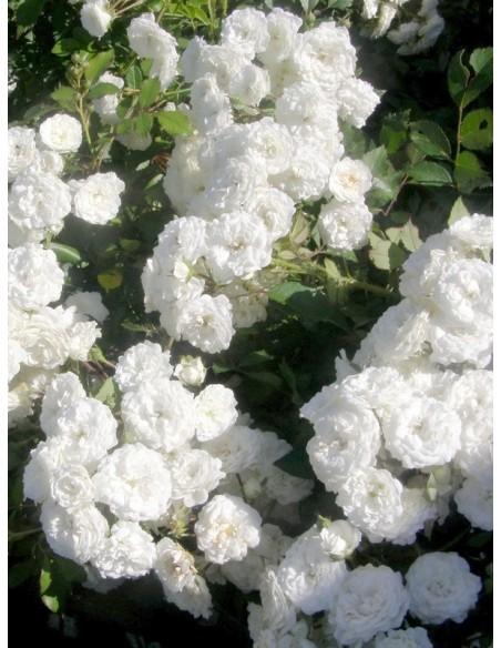 Alba Meidiliand róże okrywowe Gl 5.jpg