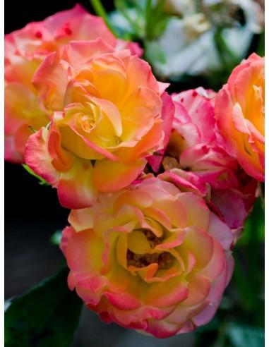 baby masquerade róże miniaturowe Gl 1.jpg