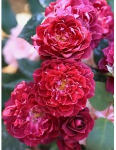 Cardinal Hume róże krzaczaste Gl 2.jpg