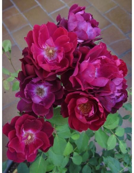 Cardinal Hume róże krzaczaste Gl 3.jpg