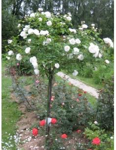 róże pienne auscat