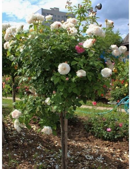 auscat pienne róże