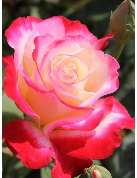 Double Delight róże pienne