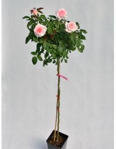 flamingo róże pienne Gl