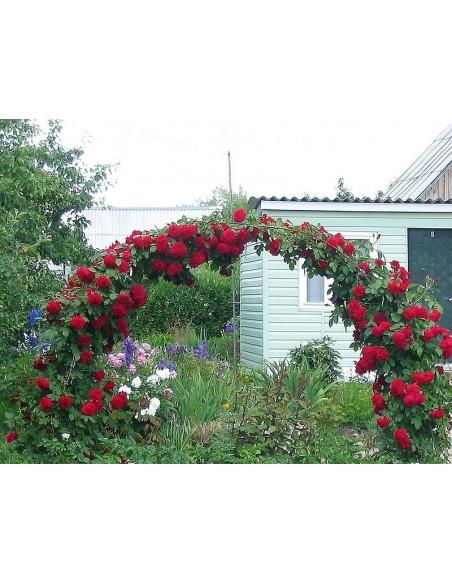 sympatia - róże pnace