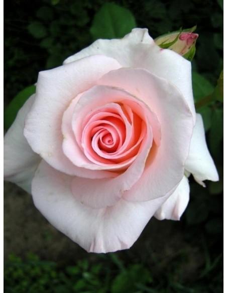 Flamingo róże pienne