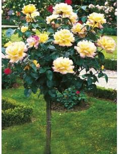 Peace róże pienne