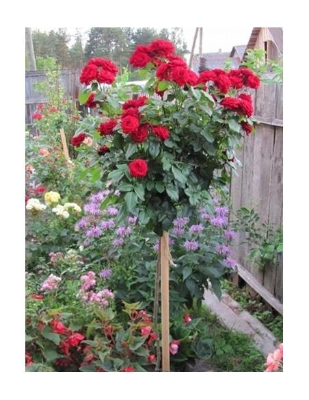 pienne róże Lavaglut