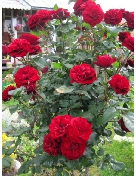 Lavaglut róze pienne