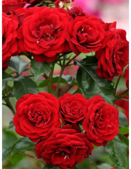 Lavaglut bordowe róże pienne