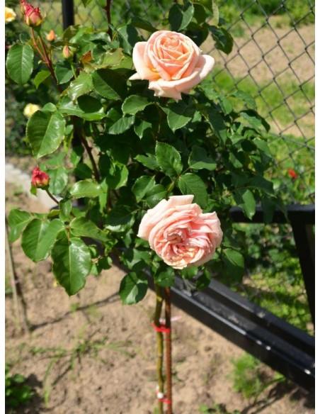 Diamond Jubilee róże pienne.jpg