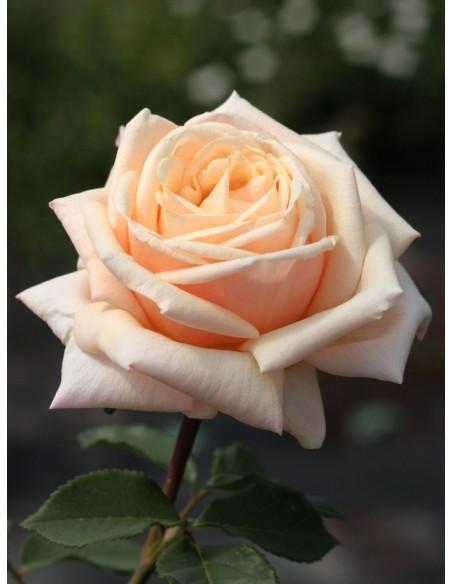 diamond jubilee róze pienne
