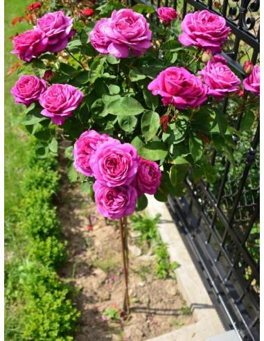 old port róże pienne