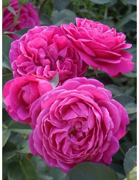 Old Port róze pienne