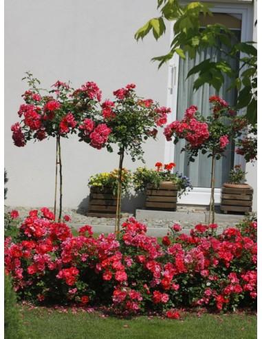 róże pienne Heidetraum