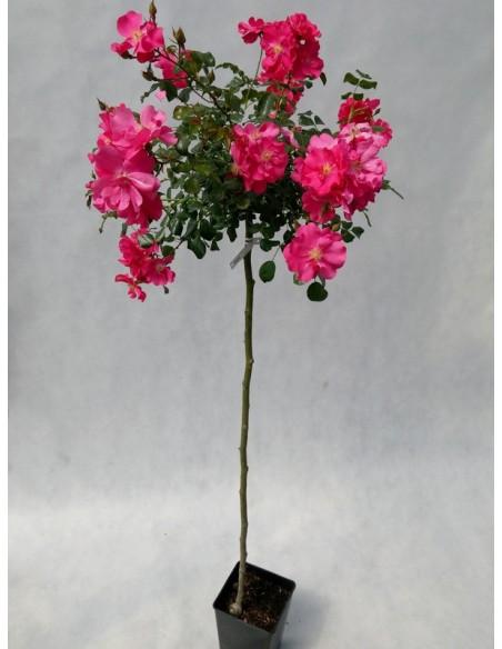 Heidetraum róże pienne