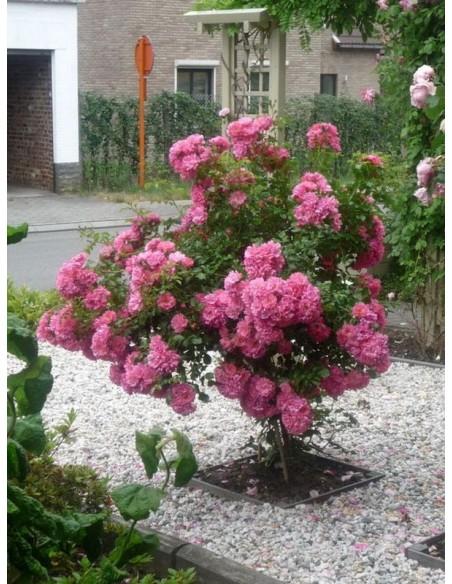 Heidetraum pienne róże