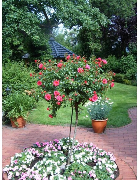 pienne róże Heidetraum