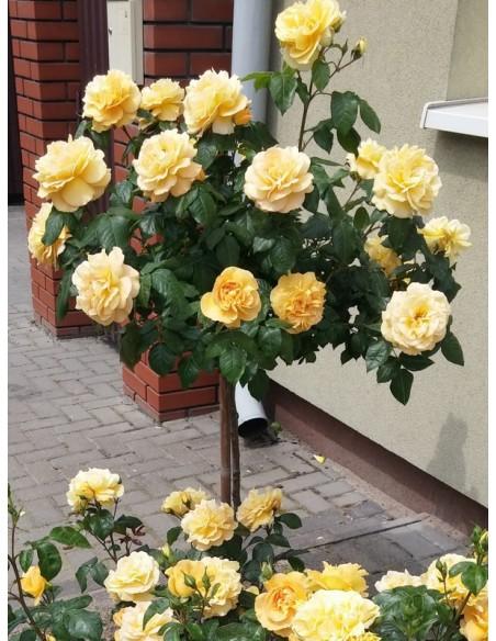 Amber Queen róże pienne