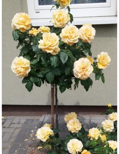 Amber Queen róze pienne