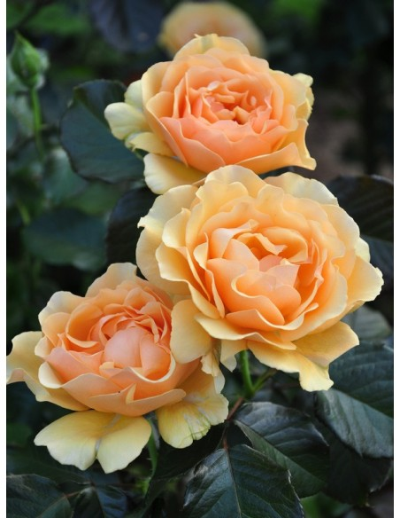 Amber Queen pienne róze
