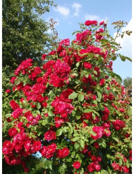 pnace róże czerwone sympatia7.jpg