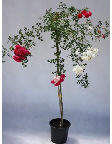 Super EXCELSA & SWANY róże pienne