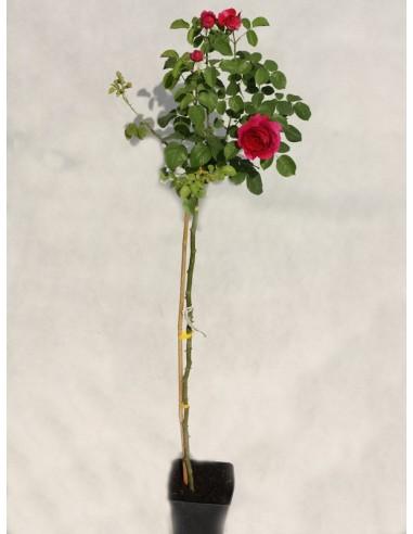 Othello angielskie róże pienne