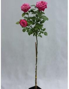 róże pienne Old Fragrance