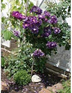 niebieskie róże pienne Rhapsody in Blue