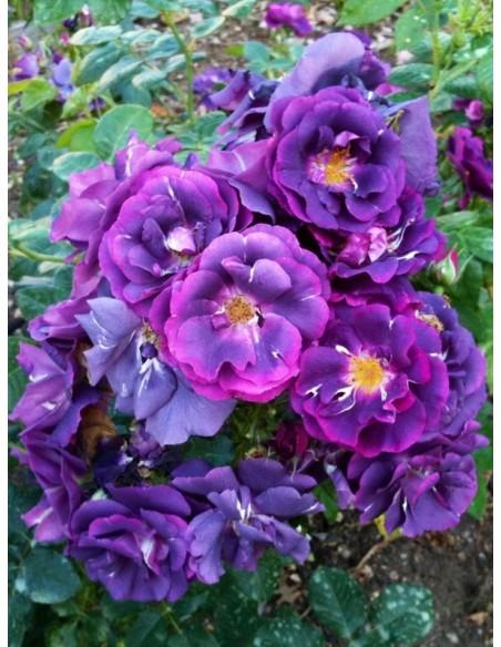 Rhapsody in Blue niebieskie róże pienne