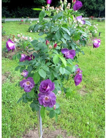 Rhapsody in Blue róże pienne