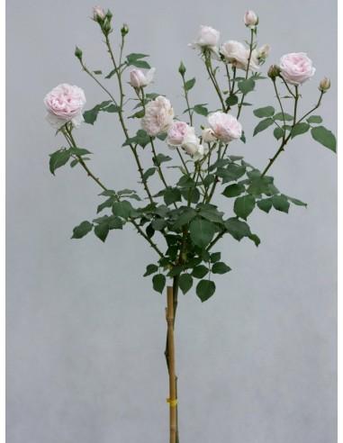 sovenir dela malmaison róże pienne