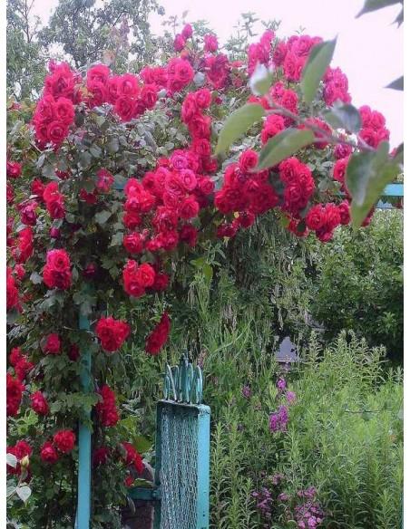 pnąca czerwona roza sympatia