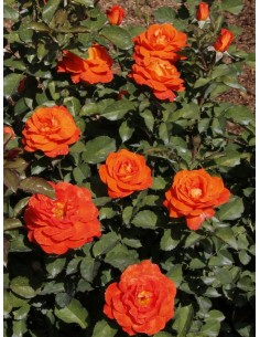 Super Trouper róże pomarańczowe