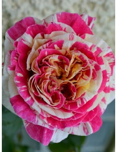 Vanille Fraise róże pnące