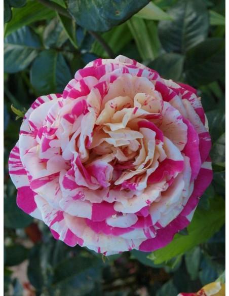 róże pnące Vanille Fraise