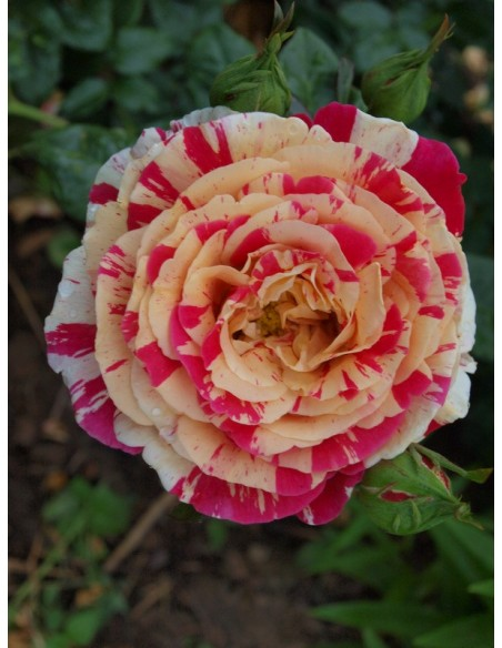 Vanille Fraise wielobarwne róże pnące