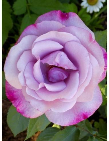 mody blue róże niebieskie